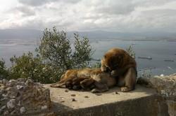 Gibraltar wild apes