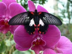 Papilio Rumanzovia at Mariposario de Benalmádena - Butterfly Park